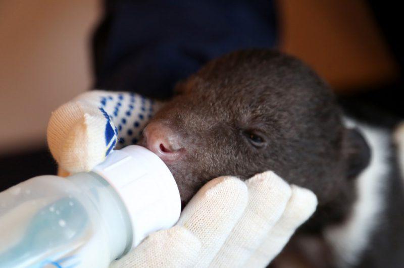 Кормление бурого медвежонка